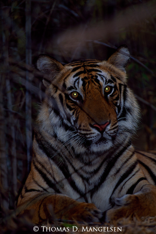 Tiger laying in brush near dark.