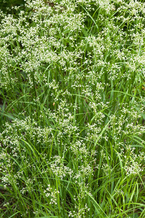 Luzula nivea, late May. A spreading, evergreen perennial with narrow, dark green leaves and clusters of small, shiny white flowers in early and mid-summer. Common names include Snow rush, Snow-white wood-rush, Snowy wood-rush, and Snowy woodrush.