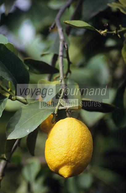 Europe/Italie/Sicile/Env de Catane : Plantation de citronniers