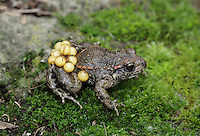 Midwife Toad Alytes obstetricans Length 4-5cm Short-legged, squat amphibian. Unusually for amphibians, mating takes place on land and the male carries the eggs until it is time for the tadpoles to hatch, at which point he seeks out water. A native of mainland Europe; several long-established colonies are present in Britain.