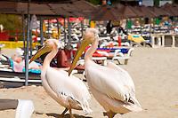 Zypern (Süd), Nissi Bay bei Agia Napa, Pelikan am Strand