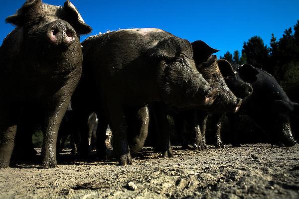 September 13, 2007, Louisburg, NC..Hogs at Mae Farms, a free range, sustainable hog farm in Louisburg, NC.