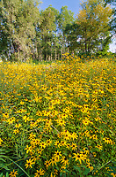Fields filled with Black-eyed Susan wildflowers fill your view at Rock Run Forest Preseerve in Will County, Illinois