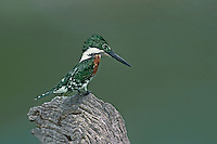 554730026 a wild male green kingfisher chloroceryle americana perches on a dead tree stump overlooking a small pond whilde watching for prey on los ebanos ranch in tamaulipas state in mexico