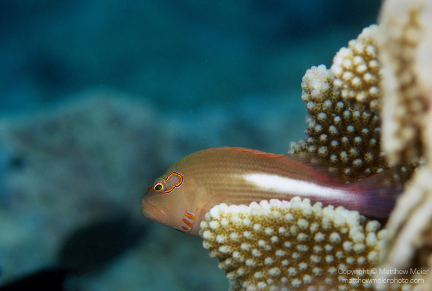 Moorea, French Polynesia; Arc-eye Hawkfish (Paracirrhites arcatus), solitary, perch on coral heads of coastal, lagoon and seaward reefs in 1-35 meters, in the Indo-Pacific Ocean region, E. Africa to Hawaii and French Polynesia.  S.W. Japan to Australia, to 13 cm , Copyright © Matthew Meier, matthewmeierphoto.com All Rights Reserved
