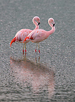 Chilean flamingos can be seen throughout Patagonia.