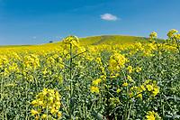 Applying nitrogen to oil seed rape in flower - Northamptonshire, April