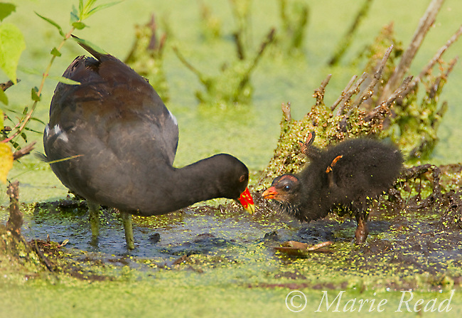 Common Moorhens (Gallinula chloropus), adult about to feed begging downy chick, Montezuma National Wildlife Refuge, New York, USA