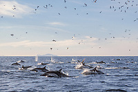 Long-beaked Common Dolphin (Delphinus capensis) surfacinf/feeding om surface prey with birds diving. Upp-er Gulf of California (Sea of Cortez, Pacific Ocean), Mexico.