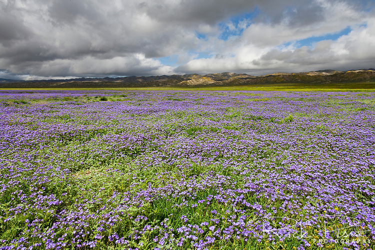 A sea of of purple wildflowers cover the Carrizo Plain below the Temblor Range at Carrizo Plain National Monument.