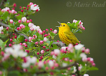Audubon KERMAN
