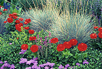 Mostly annuals in the garden: Red zinnia Scarlet Splendor, Salvia farinacea, blue oatgrass, ageratum