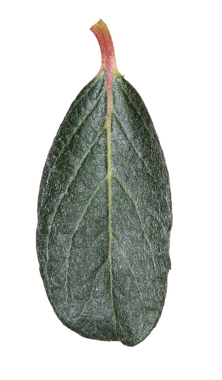 Whortle-leaved Willow Salix myrsinites (Salicaceae) HEIGHT to 50cm. Spreading undershrub. SHOOTS Glossy reddish brown when mature. LEAVES Oval, to 5cm long, shiny green with obvious veins on both sides. REPRODUCTIVE PARTS Catkins. STATUS AND DISTRIBUTION Rare, on base-rich mountain soils.