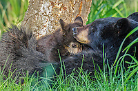 "Wild Black Bear (Ursus americanus) mother nursing cub.  Western U.S., spring. (These are what are known as ""coys""--cubs of the year.)"