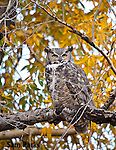 Great horned owl in fall foliage. Grand Teton National Park, Wyoming.
