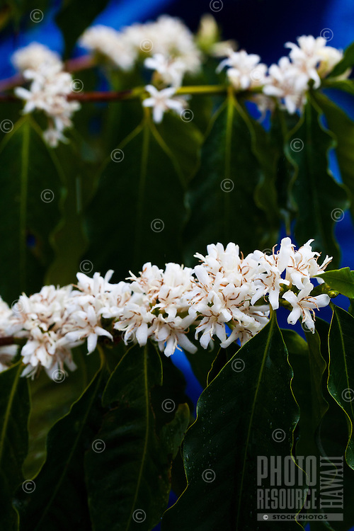 A flowering coffee plant at a coffee plantation on Kona, Big Island