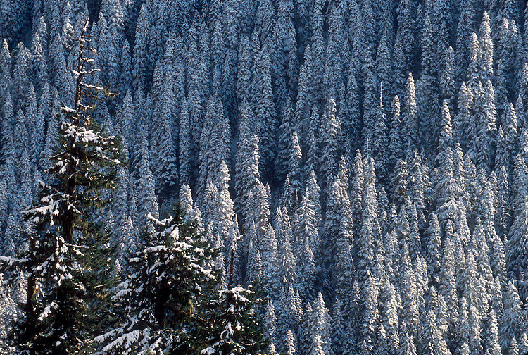 Winter conifer forest, Mount Rainier National Park, Winter snow and sunshine coat an old growth forest in Cascade Mountains, Washington State, Pacific Northwest.