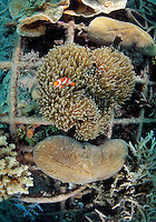 Clownfish in anemone and coral on a metal structure, part of the Biorock reef project in Pemuteran.  ..A low voltage direct current is applied on metal structures using an anode. Once the reef structure is in place and minerals begin to coat the surface, the next phase of reef construction begins. Divers transplant coral fragments from other reefs . Immediately, these coral pieces begin to bond to the accreted mineral substrate and start to grow—typically three to five times faster than normal. Soon other marine life starts colonizing the structure as well...Some say the effort is severely limited. While the method may be useful in bringing small areas of damaged coral back to life, it has very limited application in vast areas that need protection.