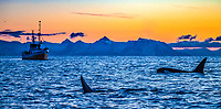 killer whale or orca, Orcinus orca, and a boat, at sunset, Sjoblomsten, Andfjorden, Vesteralen, Norway, Atlantic Ocean