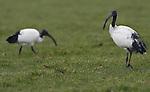 Foto: VidiPhoto<br /> <br /> RANDWIJK - Een wonderlijk gezicht maandag in een weiland langs de Rijndijk in Randwijk (Gld). Een groep van acht heilige ibissen fourageert daar op een plek waar na de winter koeien grazen. Ibissen zijn een zeldzaam fenomeen geworden in ons land, nadat de in begin 21e eeuw ontsnapte dieren (onder andere uit Avifauna) in 2009 massaal zijn teruggevangen. Dat was nodig omdat de exoten zich te goed deden aan de eieren van beschermde inheemse vogels, andere nesten vernielden en ziekten verspreidden. De enkele vogels die nu nog in Nederland rondzwerven zijn ontsnapt uit priv&eacute;collecties of afkomstig uit West-Frankijk. Daar nestelen meer dan duizend paren. Een achttal ibissen bij elkaar in het wild, zoals maandag in Randwijk, komt zelden voor.
