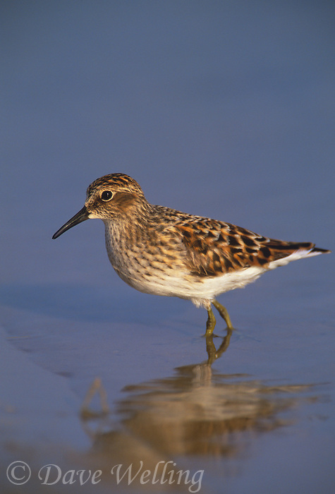 577300004 a wild juvenile least sandpiper calidris minutilla walks along the shore of a small pond in the rio grande valley of south texas united states