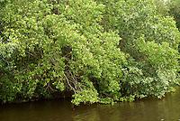 Mangroves in Los Micos Lagoon, Jeannette Kawas National Park, Punta Sal, Tela, Honduras...