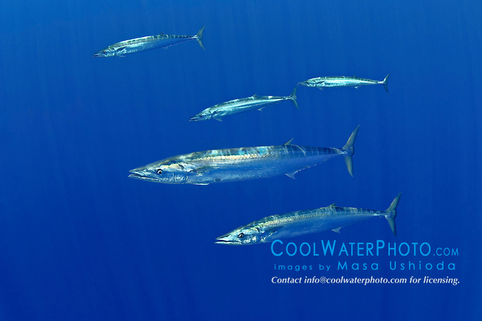 schooling wahoo, Pacific kingfish, or ono in Hawaiian, Acanthocybium solandri, free-swimming near FAD (fish aggregation device), Kona Coast, Big Island, Hawaii, USA, Pacific Ocean