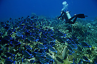 A diver near a shoal of blue tang fish, in  Roatan Island, Honduras .Roatan is the largest island of Honduras Bay Islands, near the largest barrier reef in the Caribbean Sea ..