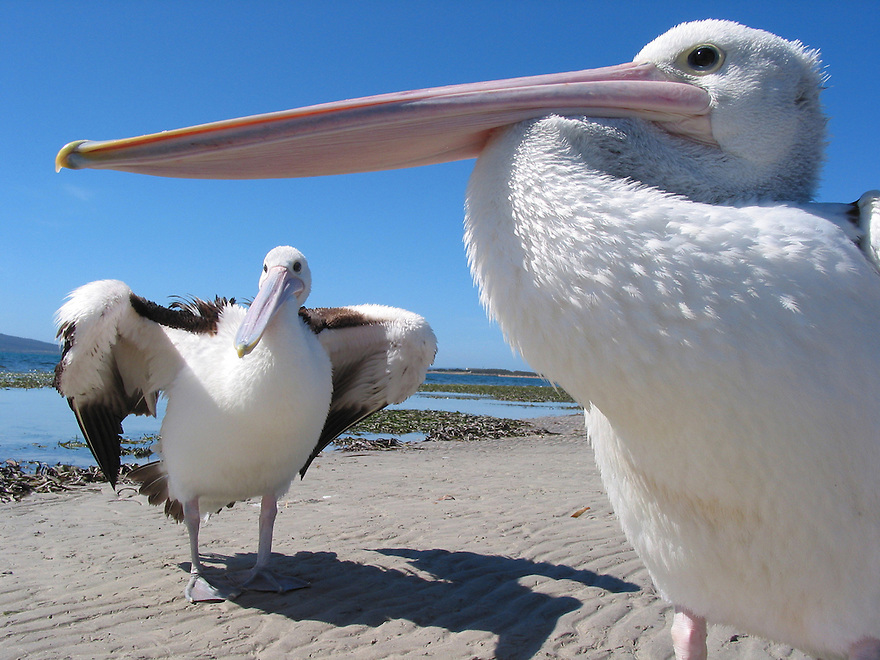 Two Pelicans Eyre Peninsula South Australia