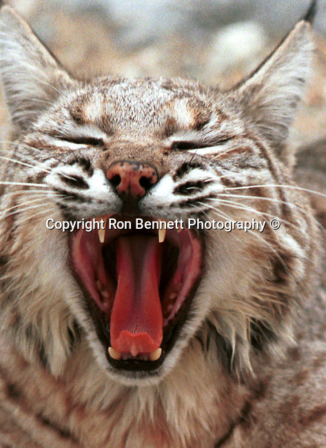 Bobcat yawn, yawn, Bobcat, Lynx, felidae, predator, whiskered face, black tufted ears, brown coat, Animal, wild animals, domestic animals,  Fine Art Photography, Ronald T. Bennett (c) cat, disambiguation, felis catus, hunt vermin, growling, hissing, puring, chirping, clicking, Felis silvestris lybica, felidae, felinae, felis,