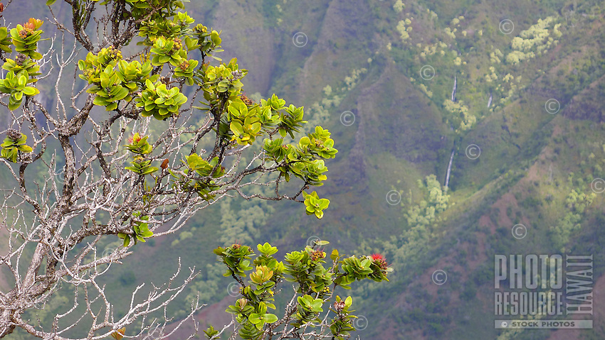 'Ohi'a lehua flowers and shrub along the Kalepa Ridge Trail, with a view of a waterfall and Kalalau Valley, Koke'e State Park, Kaua'i.