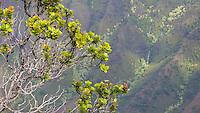 'Ohi'a lehua flowers and shrub along the Kalepa Ridge Trail, with a view of a waterfall and Kalalau Valley, Koke'e State Park, Kaua'i.
