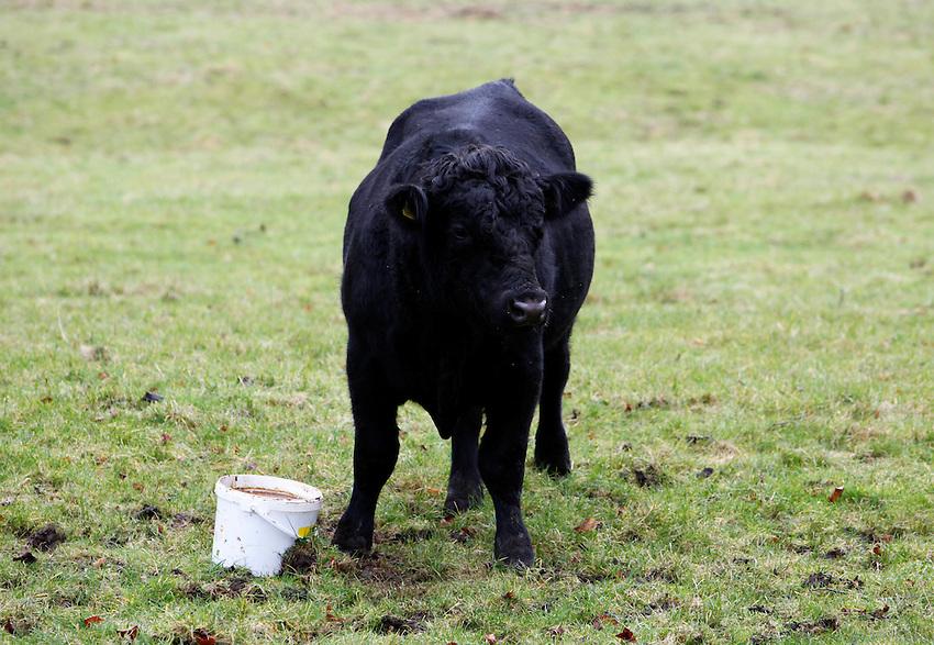 Photo: Richard Lane/Richard Lane Photography. Bulls feeding from buckets at Wilton, Wiltshire. 03/01/2013.
