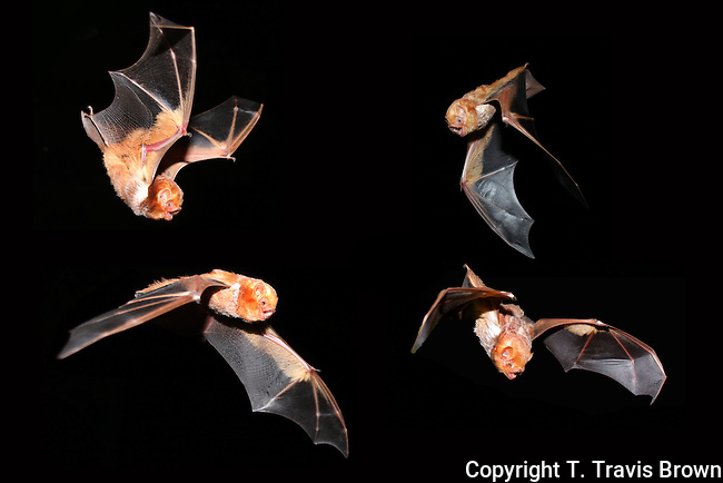 This is a composite of 4 images of red bats (Lasiurus borealis) in flight.  Red bats are one of the most beautiful bats in the Eastern U.S.  The bats were captured during surveys to determine presence/absence of endangered bat species.  Acquiring favorable photos of 4 bats was the result of hundreds of attempts.