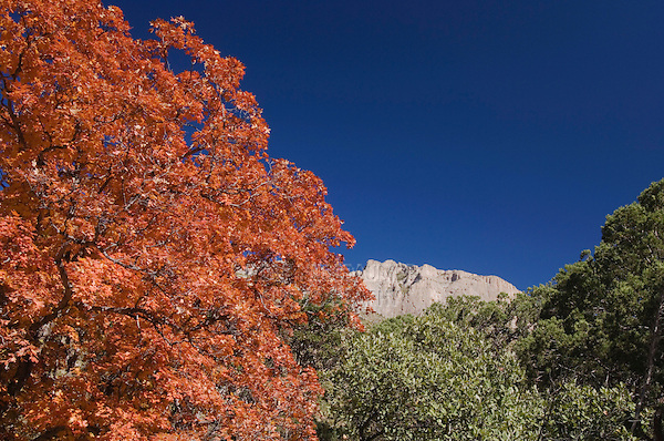 Mountains and canyon Bigtooth Maples (Acer grandidentatum) fallcolors, McKittrick Canyon, Guadalupe Mountains National Park, Texas, USA, November 2005