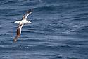 Southern Royal Albatross (Diomedea epomophora),  South Atlantic Ocean near to the Falkland Islands. November.