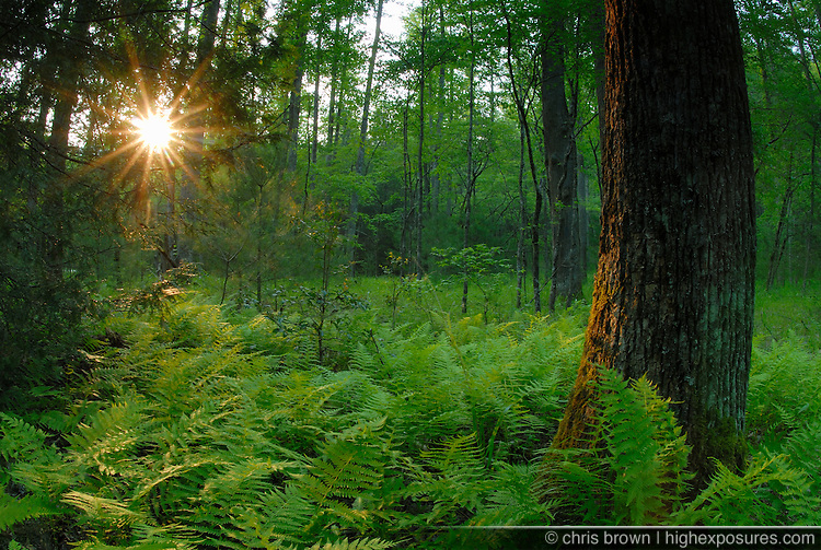 Sunset through the ferns and trees of the Pisgah National Forest.