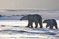 01874-12301 Polar Bear (Ursus maritimus) mother and cub near Hudson Bay  in Churchill Wildlife Management Area, Churchill, MB Canada