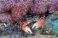 Purple Shore Crab hiding by sea star and anemone in tidal area (at low tide).  Pacific Northwest ocean beach.