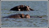 Malawi - a hippopotamos keeps and eye on the visitor, while cooling off in Liwonde National Park .... Pic Donald MacLeod 29.05.05