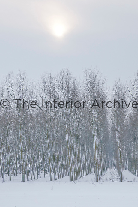 Poplars stand in serried ranks silhouetted against a pale winter sun