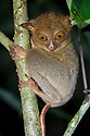 Western / Horsfield's Tarsier (Tarsius bancanus) hunting invertebrate prey in rainforest understory vegetation at night. Danum Valley, Sabah, Borneo. June.