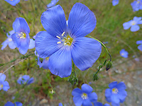 Blue Flax Wildflowers