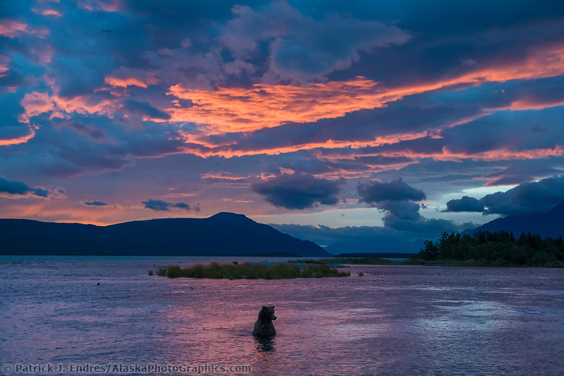 Brown bear wades in the Brooks river, morning sunrise over the Brooks river and Naknek lake, Katmai National Park, Alaska.