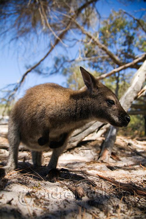 Bennetts wallaby (Macropus rufogriseus) in Freycinet National Park, Tasmania, AUSTRALIA