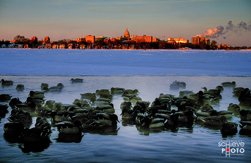 Ducks find some open water in winter on South Bay in Madison, Wisconsin.