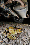A Common Toad (Bufo bufo) sitting in an unsafe place under a car.