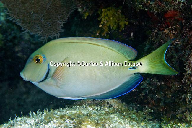 Acanthurus tractus, Ocean surgeonfish, Florida Keys
