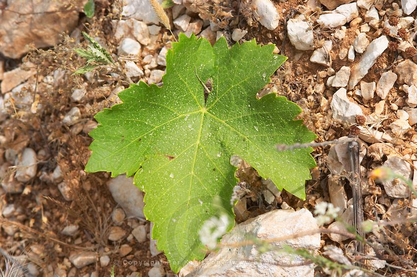 Domaine du Mas de Daumas Gassac. in Aniane. Languedoc. Vine leaves. Muscat grape vine variety. La Cerane plot. Terroir soil. France. Europe. Vineyard. Soil with stones rocks.
