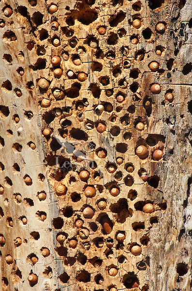 """Acorn Woodpecker """"granary tree""""--this is where acorn woodpeckers store acorns for later food.  Central California.  Winter."""